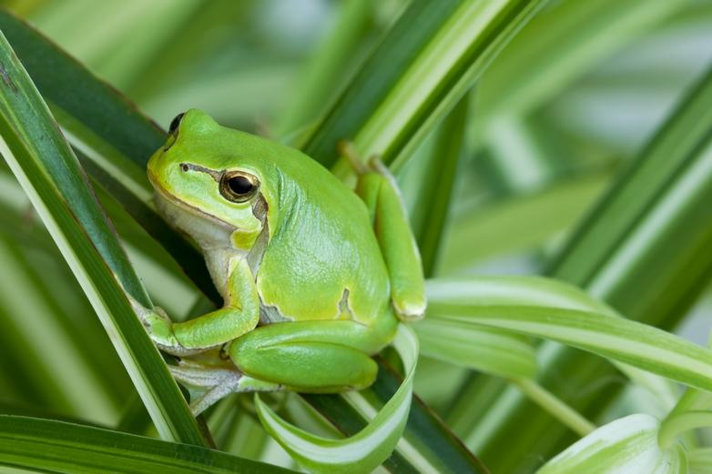 La rainette verte voit sa population diminuer, à l'instar d'un très grand nombre d'espèces animales en Europe - Crédits : lola1960 / iStock