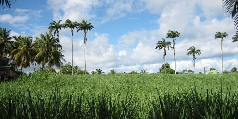 Champ de canne à sucre, à Basse-Terre en Guadeloupe – Crédits : bobyfume - Wikimedia Commons CC BY-SA 3.0