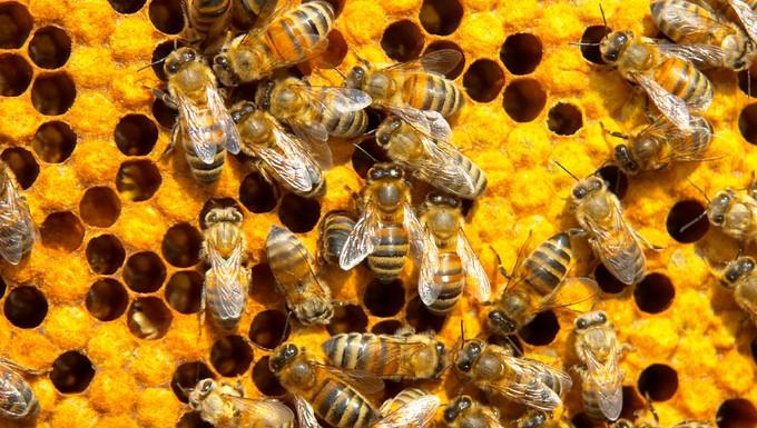Abeilles miel