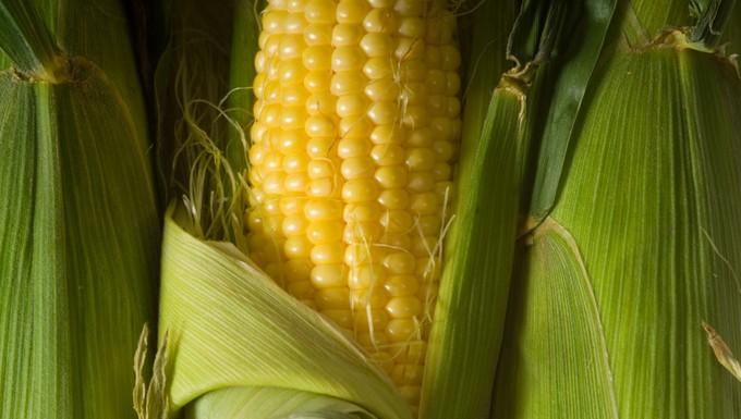 Maïs OGM Pioneer UE Conseil