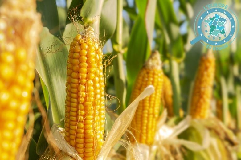 Plants de maïs - Crédits : feellife / iStock