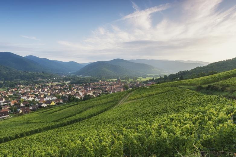 Vignoble à Wihr-au-Val en Alsace - Crédits : Focus_on_Nature / iStock