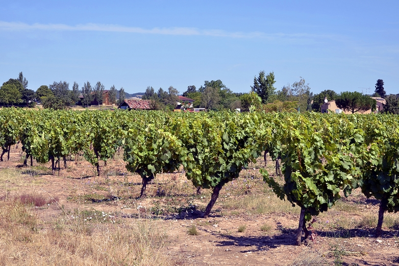 Vignoble en Occitanie - Crédits : Musat / iStock