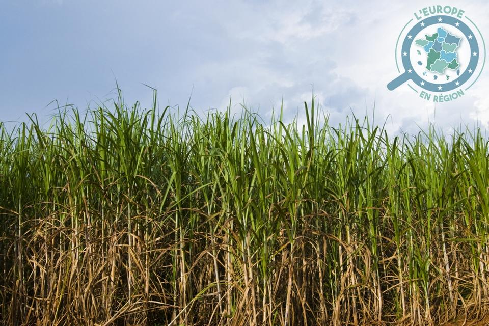 La canne à sucre est la matière première pour la fabrication de rhum