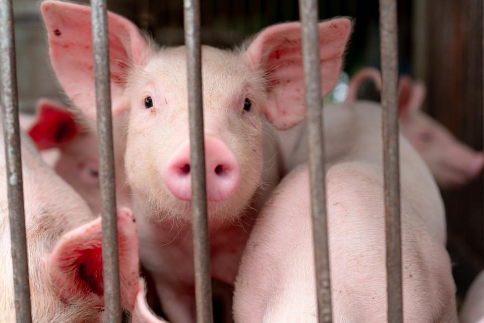Selon l'association CIWF, l'élevage en cage aurait de graves répercussions sur la santé des animaux