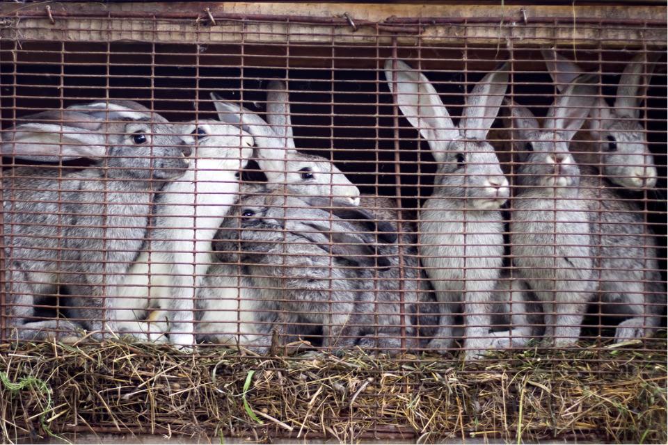 A partir de 2027, l'élevage des lapins en cage pourrait être interdit