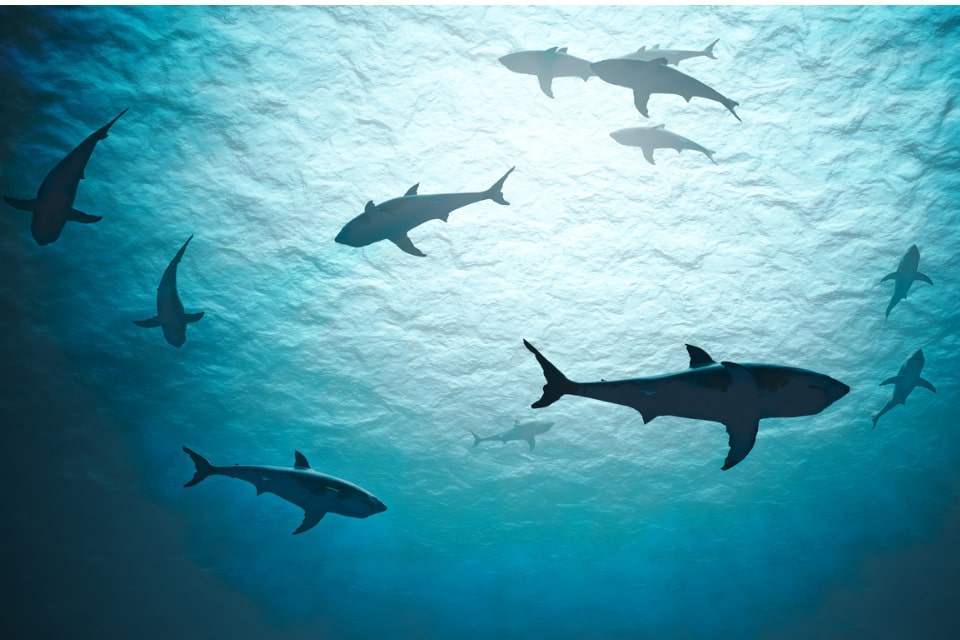 """Selon la """"liste rouge"""" de l'Union internationale de conservation de la nature (UICN), 37 % des 1 200 espèces étudiées de requins et de raies sont désormais menacées"""